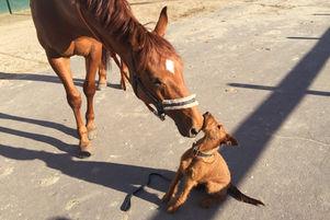 Pferde und Irish Terrier harmonieren perfekt zueinander
