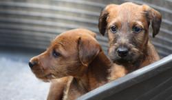 2 typvolle rote Irish Terrier Welpen