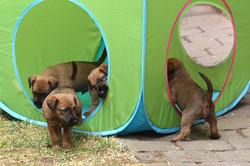 Irish Terrier Welpen im Spieletunnel