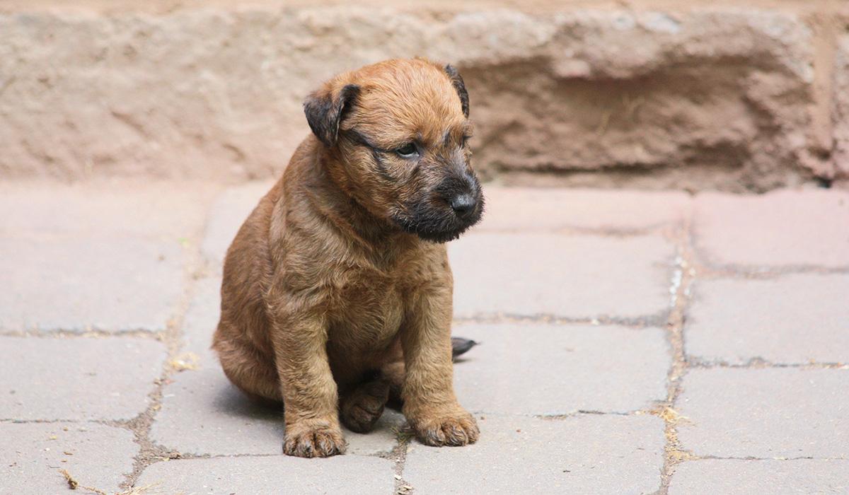 wohlgenährter Irish Terrier Welpe