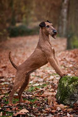 Irish Terrier Rüde Glenstal's Extra Extra Read All About It posiert im Wald