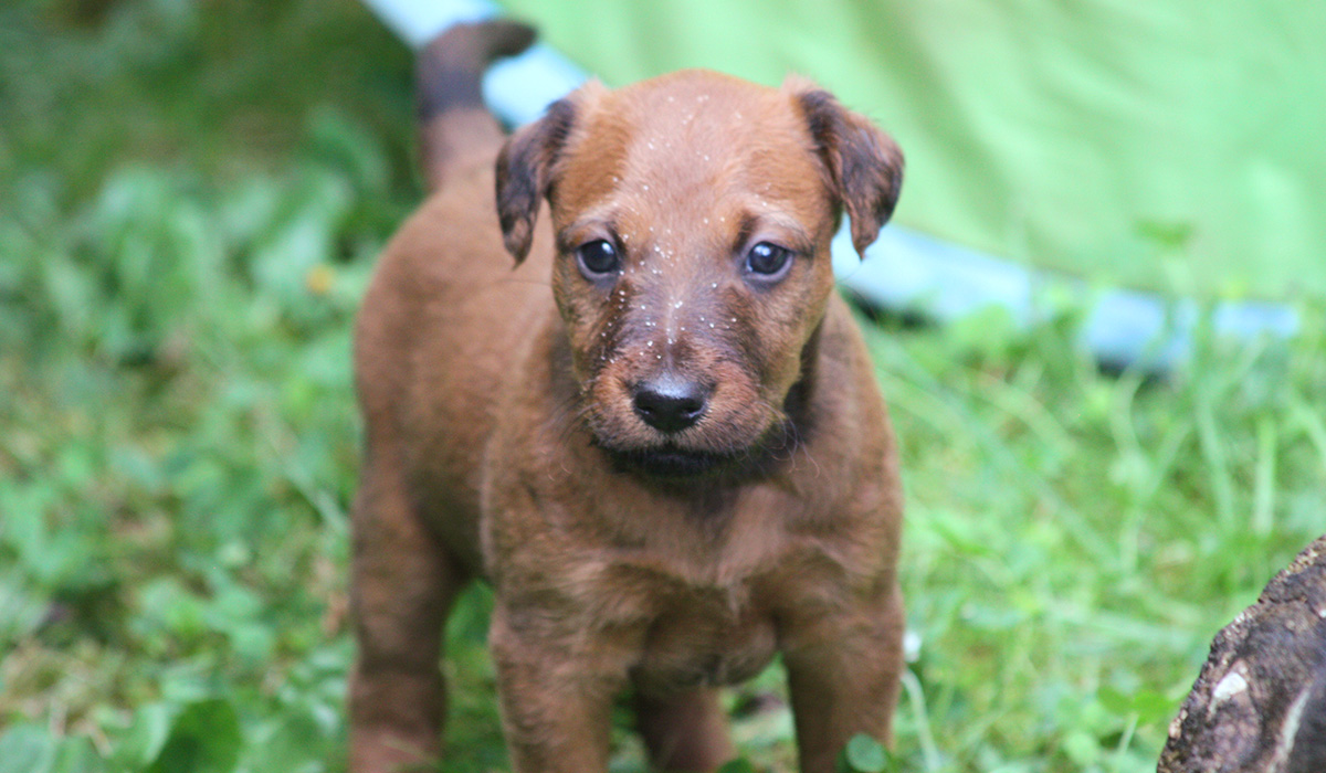 Ein kleiner roter Irish Terrier Welpe