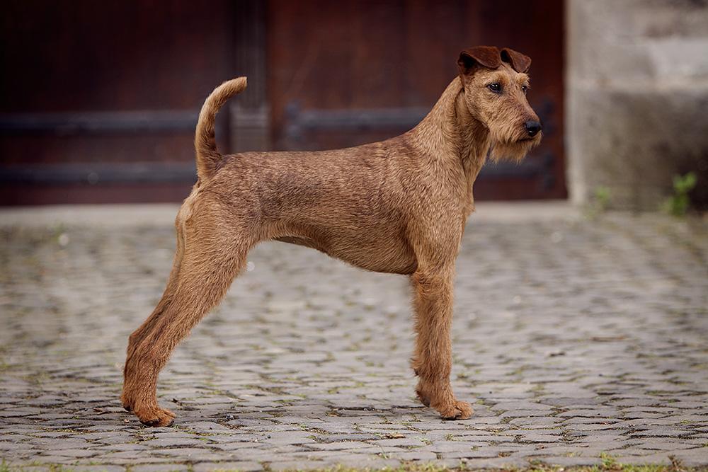 Irish Terrier Hündin OH! Patrick Caramel's American Deam posiert aufmerksam