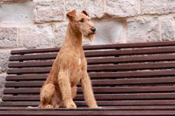 Irish Terrier Rüde OH! Patrick Uncle Sam, Frontansicht, sitzt auf Bank