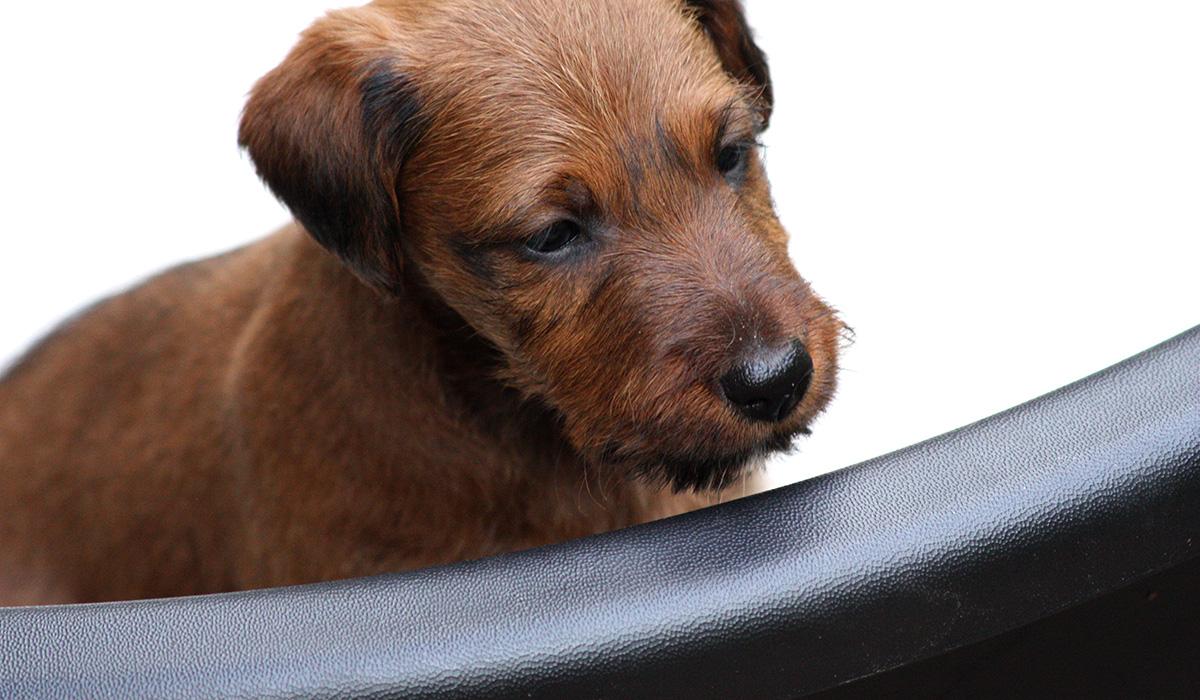 Irish Terrier Welpe mit toller roter Farbe allein in Schlafkiste