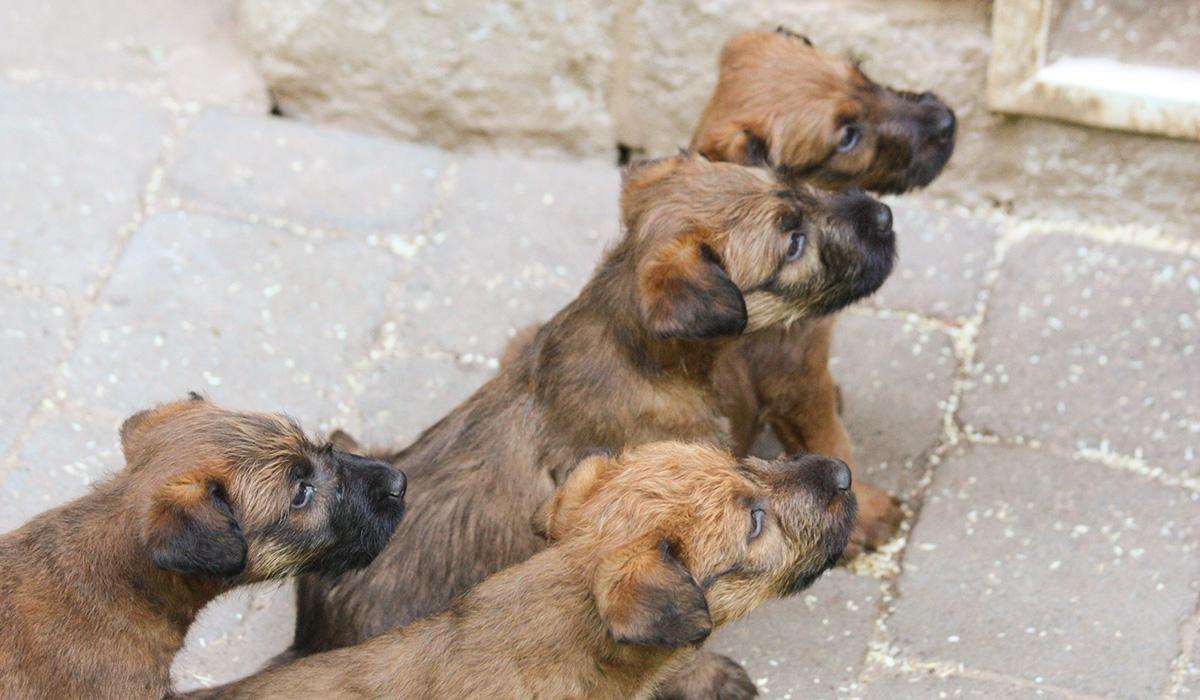 vier zuckersüße Irish Terrier Welpen