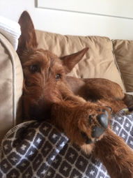 Irish Terrier sind definitiv Sofahunde!