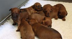 irish-terrier-welpen-woche3-7
