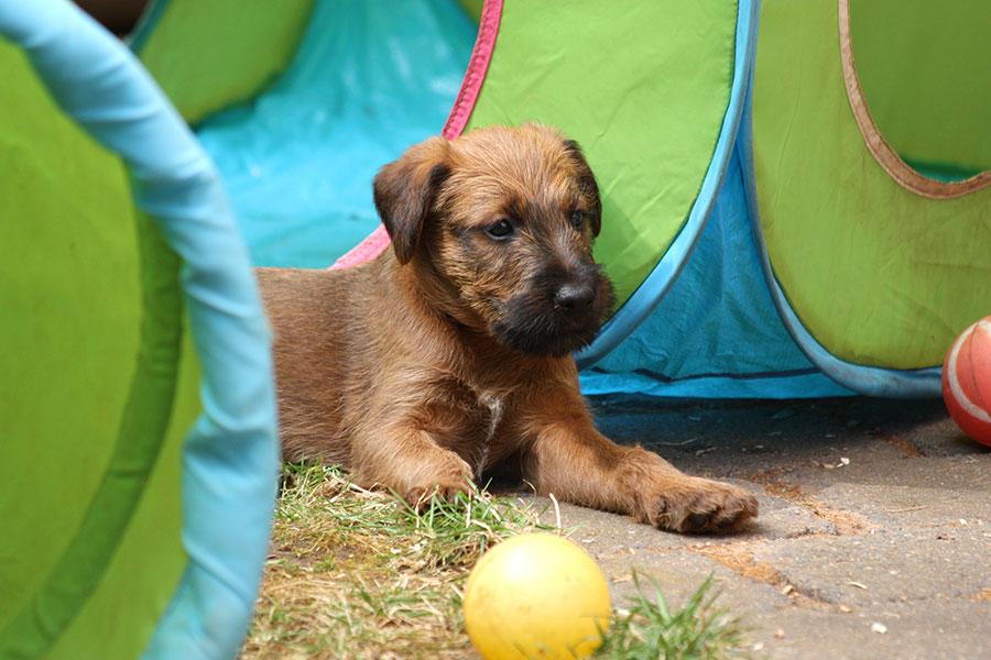 Irish Terrier Welpe im Welpenauslauf