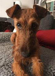 Irish Terrier können unschuldig gucken