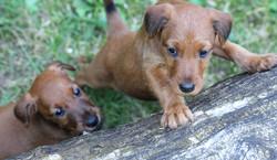 2 Irish Terrier Welpen an einem Baumstumpf