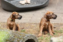 2 Irish Terrier Welpen, 7 Wochen alt
