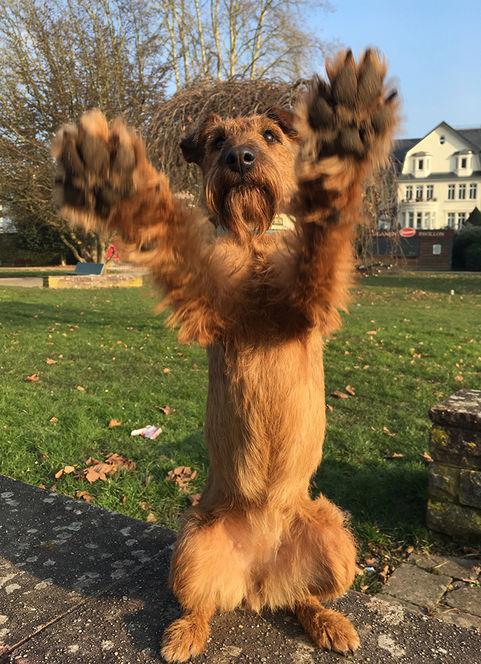 Immer gut gelaunt: Irish Terrier fordern gerne zum Spiel auf