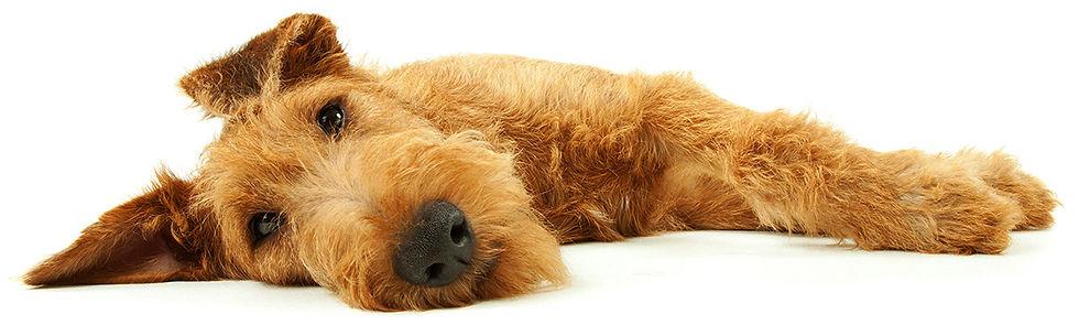 Alles Wissenswerte über den Irish Terrier im Schnell-Check