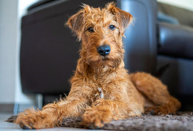Ein kecker junger Irish Terrier namens Eddy