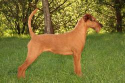 Irish Terrier Hündin Lena, Seitenansicht im Garten