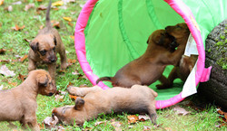 Lustige Irish Terrier Welpen