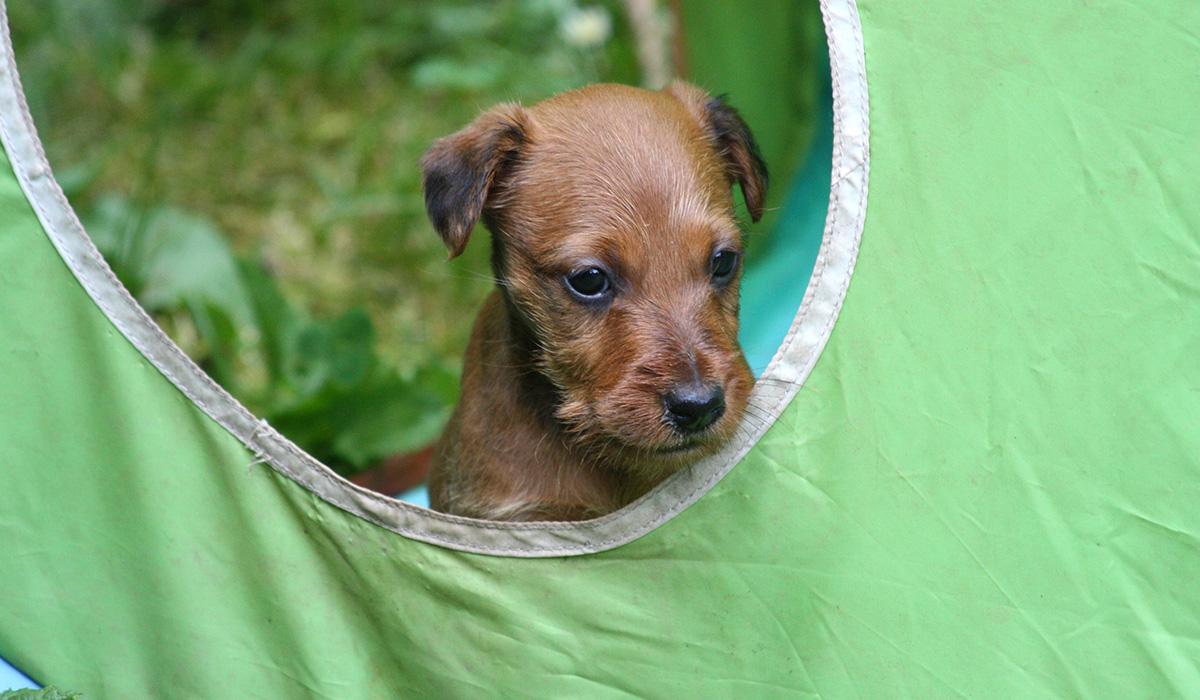 Süßes Irish Terrier Mädchen im Spielzelt