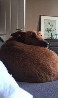 Irish Terrier machen sich hervorragend im Bett, denn sie haaren nicht