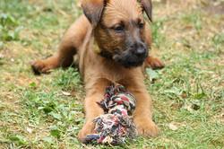 Irish Terrier Welpe spielt mit Seil