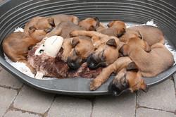 Schlafende Irish Terrier Welpen