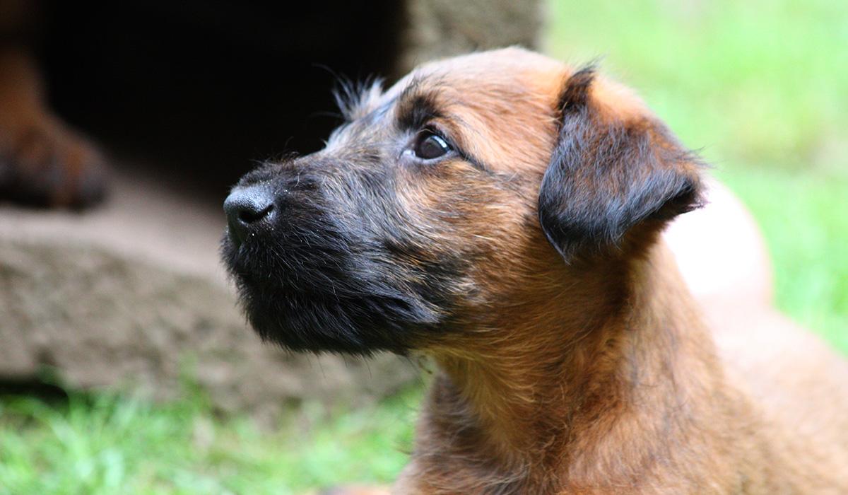 Schöner Ausdruck eines tiefroten Irish Terrier Welpen