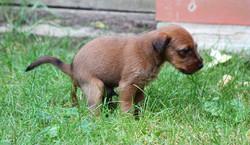 Ein Irish Terrier Welpe muss mal groß