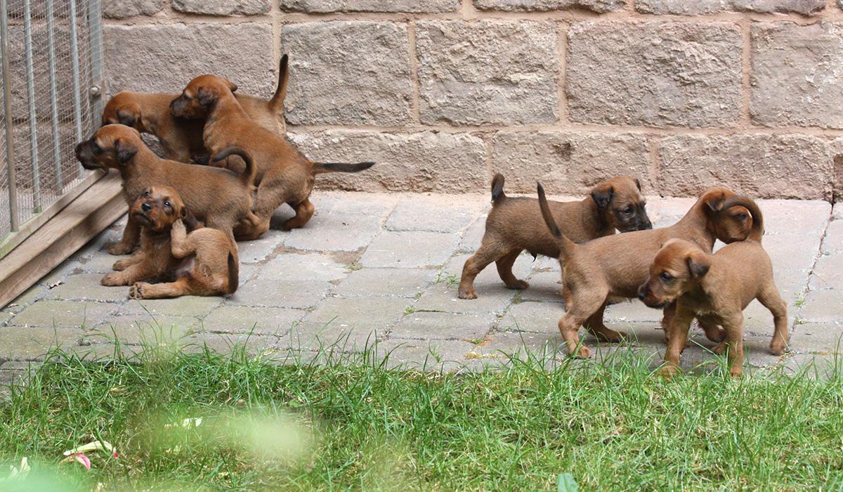 Wache, aufmerksame Irish Terrier Welpen