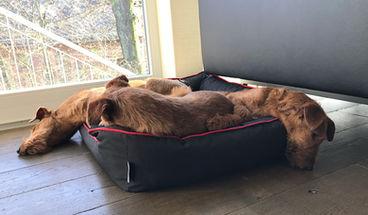 Nach einem langen Spaziergang genießen Irish Terrier ein Nickerchen