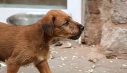 Schöner Kopf eines Irish Terrier Welpen