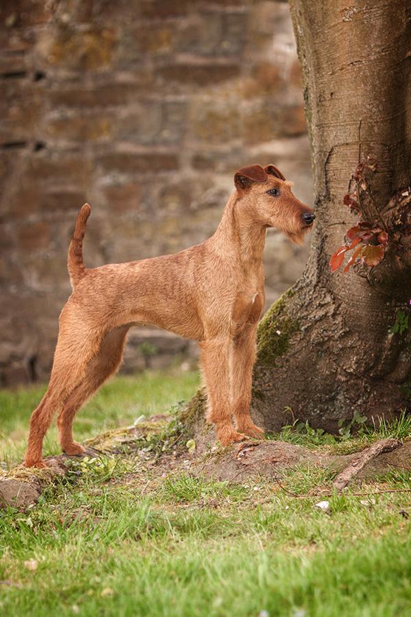 Irish Terrier Hündin OH! Patrick Caramel's American Deam, Seitenansicht