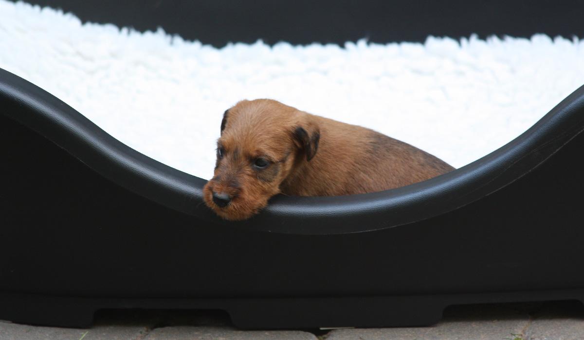 Irish Terrier Welpe kurz vorm Einschlafen