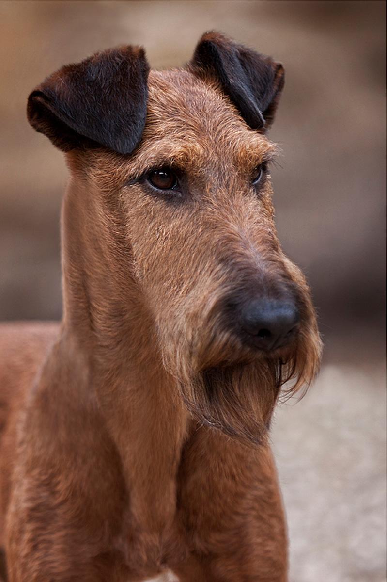 Irish Terrier Rüde Glenstal's Extra Extra Read All About It, Porträt