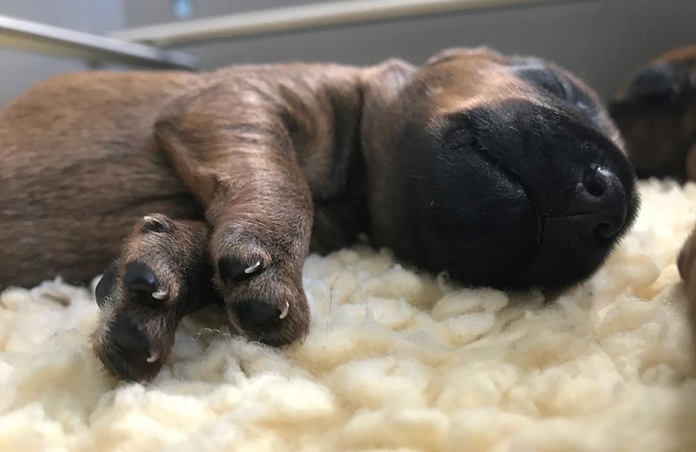 Irish Terrier Welpe mit  besten Anlagen