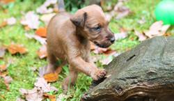 Irish Terrier Welpe mit besten Fellananlgen