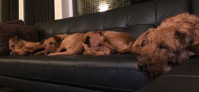 Im Haus sind Irish Terrier ruhige und angenehme Hunde