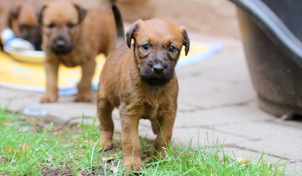 Irish Terrier Welpe kommt auf einen zu.