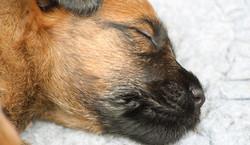 Irish Terrier Welpe schläft tief und fest