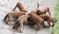 Ein Irish Terrier Wurf am Fressnapf