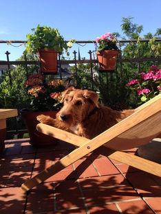 Ein Irish Terrier genießt die Sonne