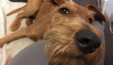 Irish Terrier haben eine vorwitzige Nase