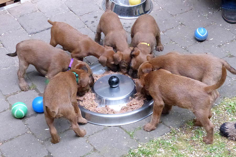 Gesunde Irish Terrier Welpen haben immer Hunger