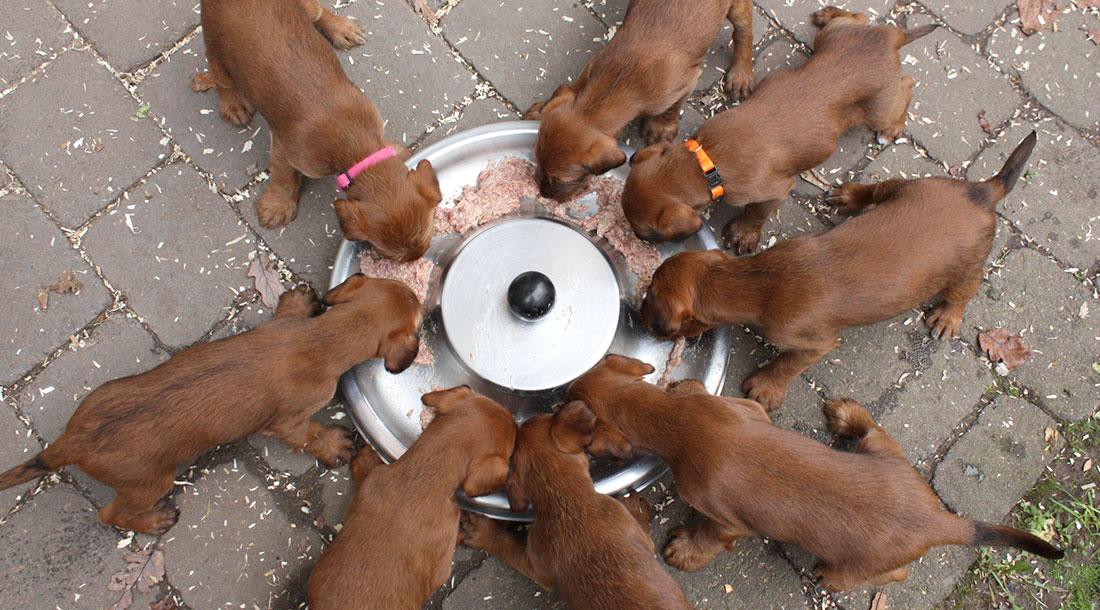 irish-terrier-welpen-woche6-15
