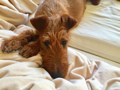 Korrekte Ohren machen den Ausdruck eines Irish Terriers perfekt