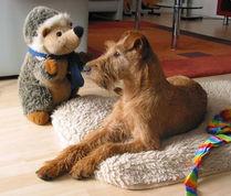 Irish Terrier sind anmutige Hunde