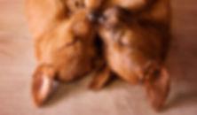 Wie wir damit anfingen, Irish Terrier im Saarland zu züchten