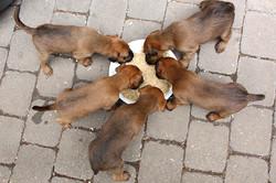 Irish Terrier Welpen am Fressnapf