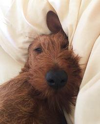 Kann man einem Irish Terrier widerstehen?