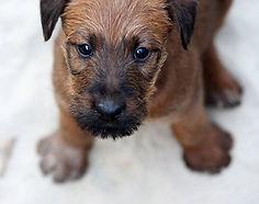 Irish Terrier Welpe 2020