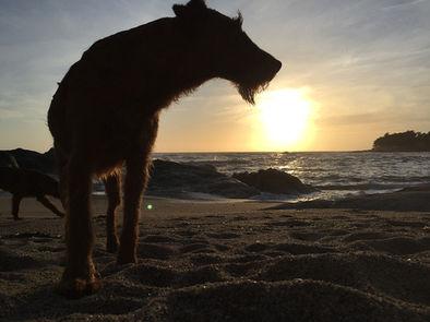 Die raue Seeluft gefällt jedem Irish Terrier